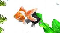Aquazone金魚