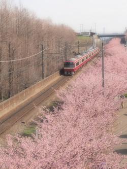 京急線と三浦海岸の河津桜