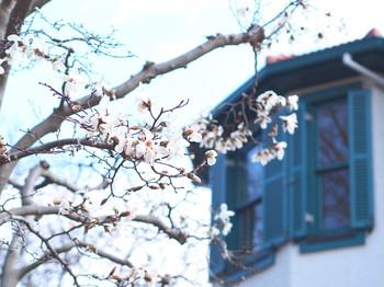 こぶしの花とブラフ18番館