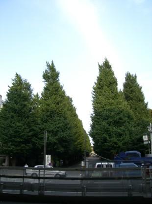 慶応大学前の銀杏並木