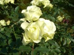 庭園のバラ